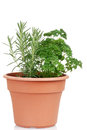 Rosemary and parsley in a pot Royalty Free Stock Photo