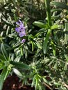 Rosemary plant with purple little flower Royalty Free Stock Photo