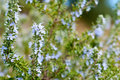 Rosemary plant in small depth of field Royalty Free Stock Photos