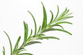 Rosemary (Rosmarinus officinalis) Stock Photo