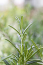 Rosemary rosmarinus officinalis plant from jijel algeria Royalty Free Stock Photography