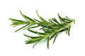 Rosemary scented plant for herbal medicine and cooking ingredient Royalty Free Stock Image