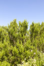 Rosemary shrub against blue sky beautiful natural space for text Stock Image