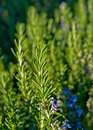Rosemary in sunny garden Royalty Free Stock Photos