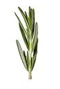 Rosemary twig isolated on white Royalty Free Stock Photo
