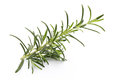 Rosemary twig on the isolated white background. Royalty Free Stock Photo