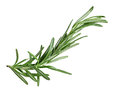 Rosemary twig single fresh isolated on white background Stock Image
