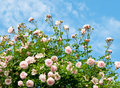 Roses against blue sky. Stock Images