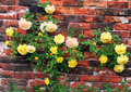Roses against a wall. Royalty Free Stock Photo