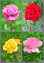 Roses in bloom collage various types of garden Royalty Free Stock Photography