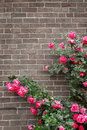 Roses on brick wall Stock Image