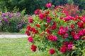Roses bush on garden Royalty Free Stock Photo