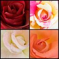Roses collage Stock Images