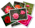 Roses collage of the flower photos isolated on the white background Royalty Free Stock Images