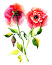 Roses flower red watercolor illustration Stock Photo