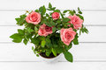 Roses in flowerpot pink a on white wooden background Stock Image