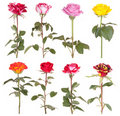 Roses flowers rose flower Royalty Free Stock Photo