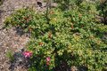 Roses and its`s colorful fruit, perennial flowering plant