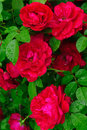 Roses juicy red with green leaves after a rain Stock Photo