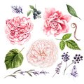 Roses, lavender and leaves, watercolor, can be used for greeting card, invitation card for wedding. Royalty Free Stock Photo