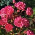 Roses none ornamental plant has such a diversity of varieties as rose among them are tall bushes and dwarfs diverse and form their Royalty Free Stock Photo