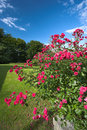 Roses in the park - summer day Royalty Free Stock Photo