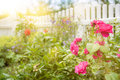 Roses and plants in garden with white wooden fence in blurred background Royalty Free Stock Photo