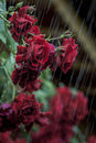 Roses raindrops red standing under the summer rain in the garden Stock Images