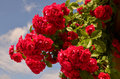 Roses red bush against the blue sky Stock Images