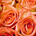 Roses rose flowers background selective shallow square Royalty Free Stock Photos