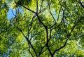Rosewood Or Tipuana Tipu