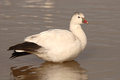 Ross s goose on lake a resting a in new mexico Royalty Free Stock Image