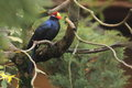 Ross turaco the lady sitting on the tree Royalty Free Stock Images