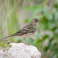 Rosy pipit anthus roseatus standing on the rock in non breeding season Royalty Free Stock Images