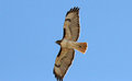 Rot angebundener hawk flying above blue sky Lizenzfreie Stockbilder