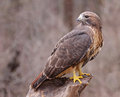 Rot angebundener hawk looking back Lizenzfreies Stockbild