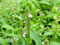 Rotala fimbriata, a species of flower found in Kaas Plateau Royalty Free Stock Photo