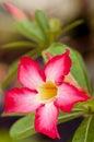 Rote Blume (Nerium-Oleander) Lizenzfreie Stockbilder