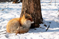 Roter Fuchs im Winter Stockfotos