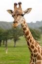 Rothchild's giraffe Royalty Free Stock Photo