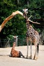 Rothschild giraffe mother with s baby next to it s baby lyes on the ground Royalty Free Stock Photography