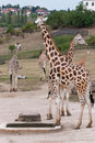 Rothschild giraffes giraffa camelopardalis rothschildi in the herd of zoo Royalty Free Stock Photos