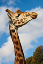 Rothschilds giraffe Royalty Free Stock Photo
