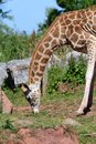 Rothschilds giraffe Giraffa camelopardalis rothschildi Royalty Free Stock Photo