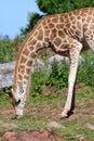 Rothschilds giraffe Giraffa camelopardalis rothschildi Royalty Free Stock Photo