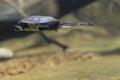 Roti island snake necked turtle Royalty Free Stock Photo