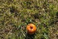 A rotten apple fallen from a tree on a meadow Royalty Free Stock Photo