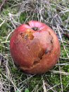 rotten apple and fly Royalty Free Stock Photo