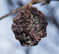 Rotten apple on a tree Royalty Free Stock Photo