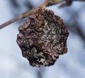 Rotten Apple On A Tree